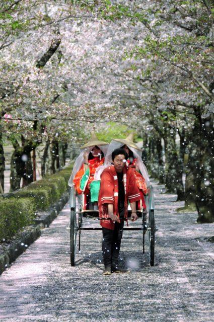 Imagen de rickshaw bajo los cerezos